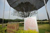 深圳城管给国家领导人所栽金桂树遮阳