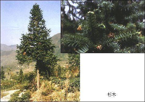 杉属(cunninghamia)是杉科的代表,杉木(见图)是我国秦岭以南,长江
