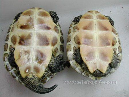 广西花龟图片大全