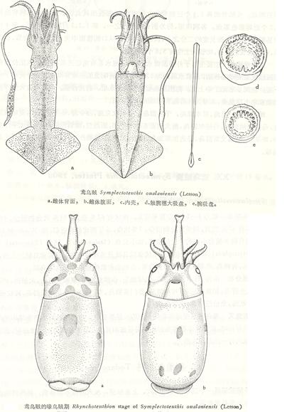 飞鱼(exocoetus)和灯笼鱼