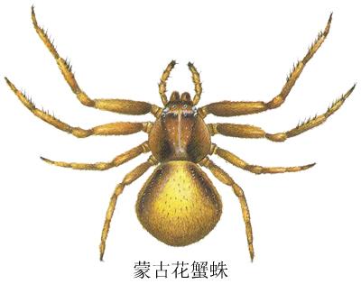 蒙古花蟹蛛