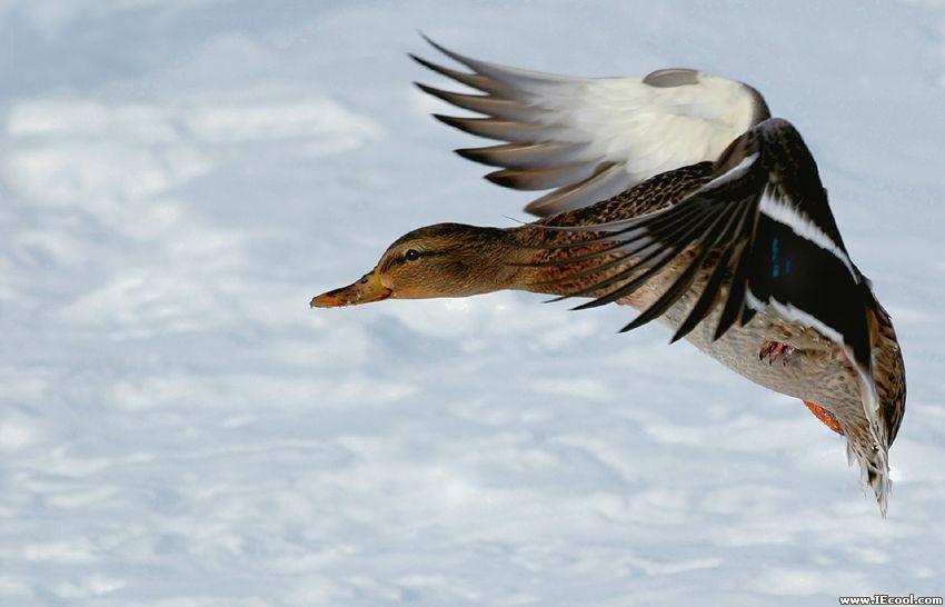 一拥而上迅速将尸体分食;鹞,鵟等捕食地面动物的猛禽会在开阔的草场上