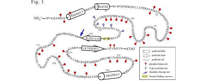 骨桥蛋白基因结构