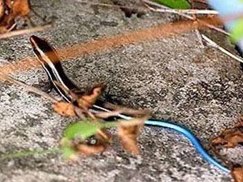 子科石龙子属的爬行动物