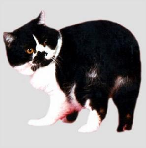 一头理想的马恩岛猫可以用一个圆字来形容