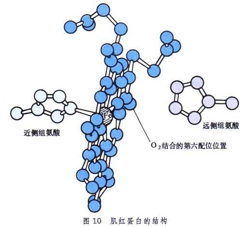红蛋白的高级结构及其载氧功能