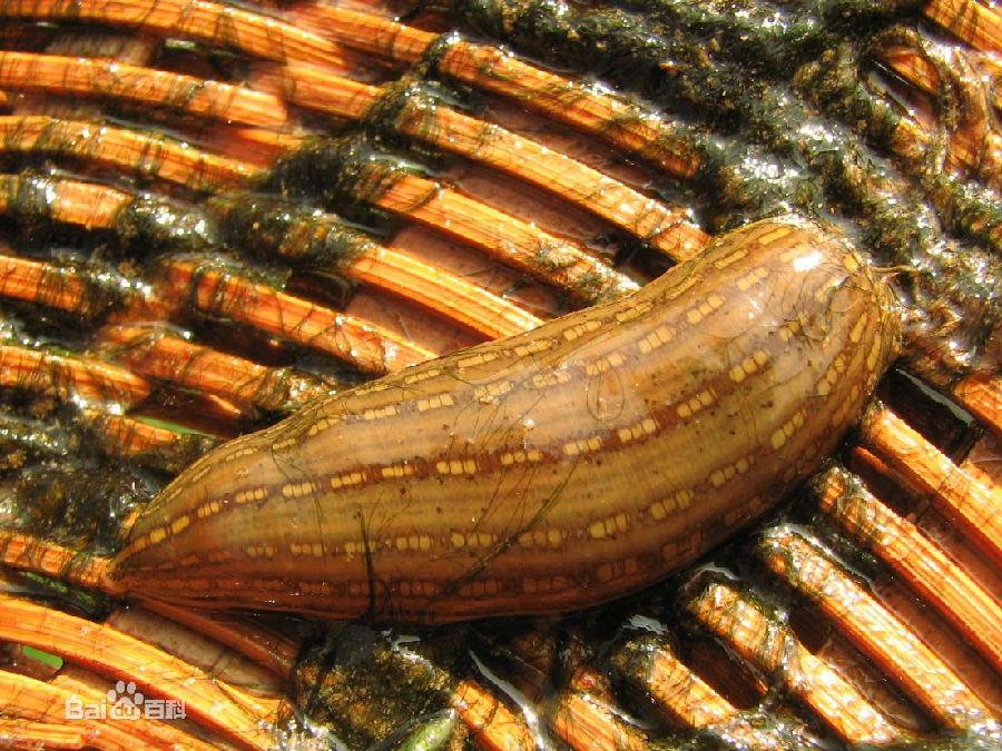 食人水蛭 柬埔寨食人水蛭
