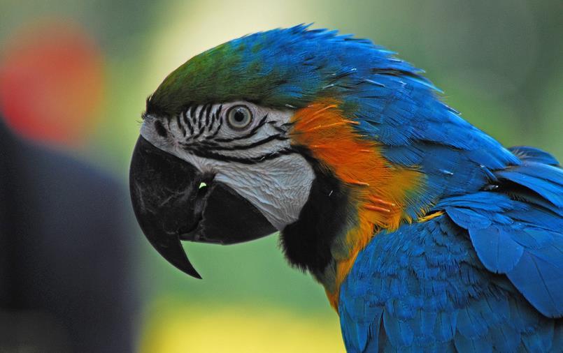动物 鸟 鹦鹉 805