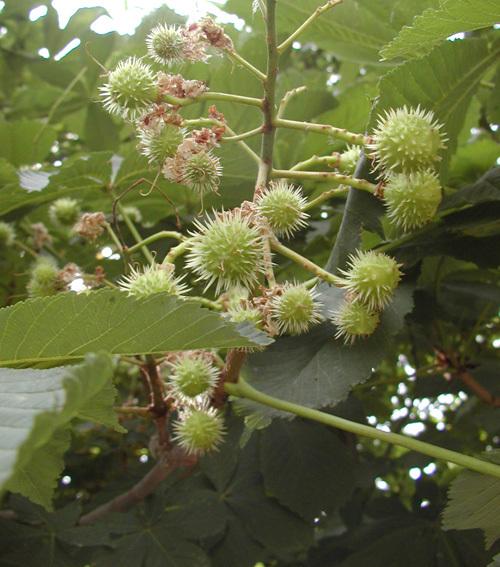 欧洲七叶树的果实