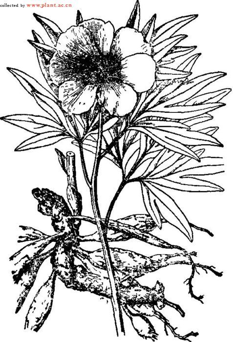 芍药手绘素描图片