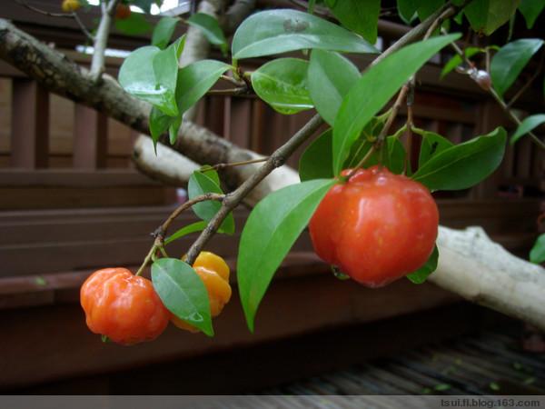 hayata将我国台湾产的红果树,原列入石楠属photinia中,后改列本属并另