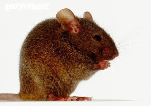 啮齿目rodentia是哺乳动物中最大最