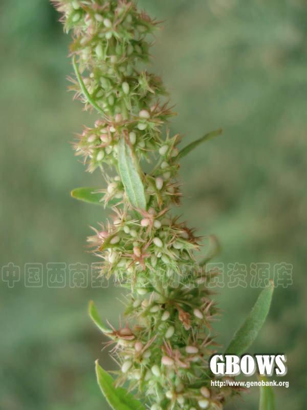 红梗酸模叶展示图片